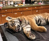 Tiger Tries to Emigrate