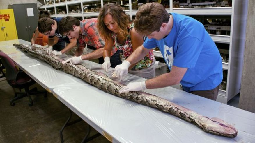 A 17-foot-long Burmese python caught in the Florida Everglades.