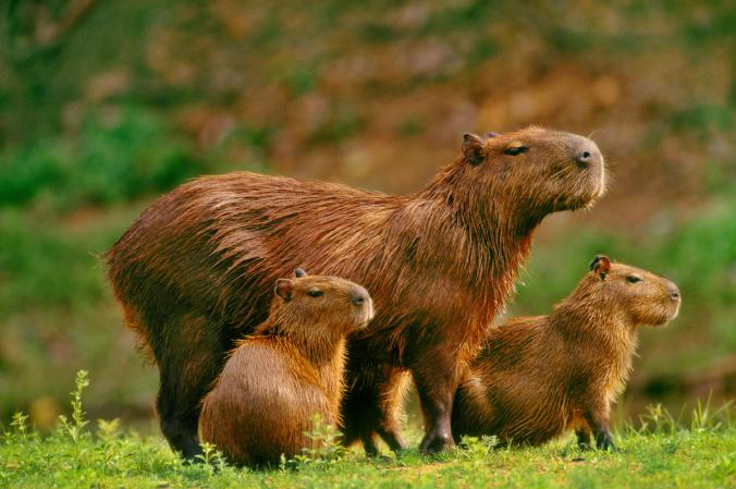 A+family+of+capybaras+in+in+Pantanal%2C+Brazil+
