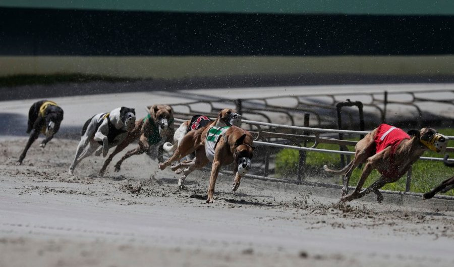 Greyhounds+sprinting+around+a+corner+at+the+Palm+Beach+Kennel+Club.%0AThe+Washington+Post