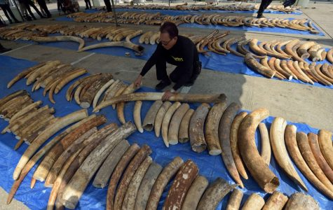 Illegal Ivory and Tuskless Elephants