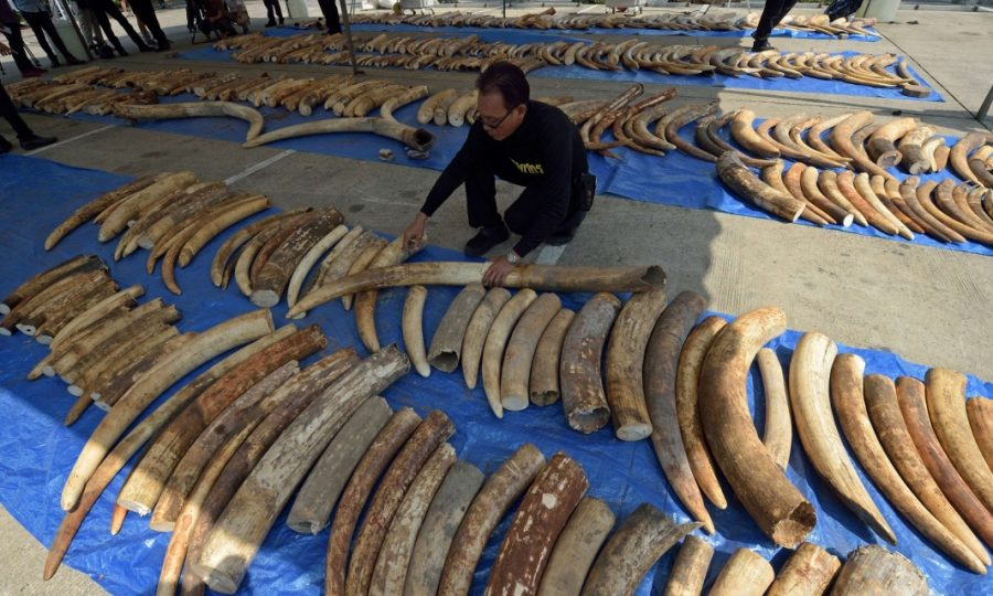 Illegal Ivory and Tuskless Elephants