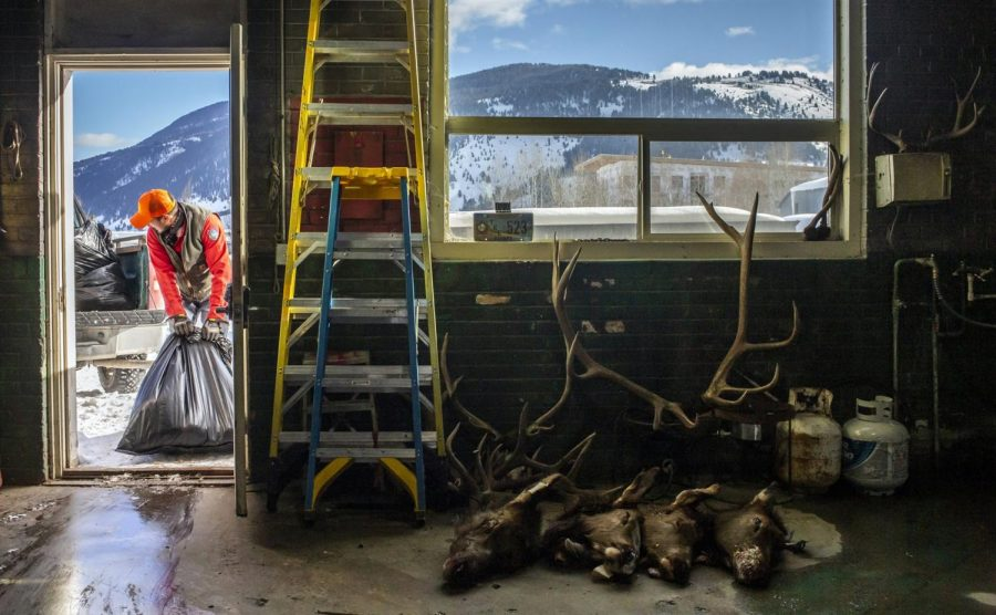 Dec. 4, 2018, after removing lymph nodes for CWD testing, Aaron Morehead, Wyoming Game and Fish Department biologist, hauls out deer heads that will be sent to the dead animal pit.