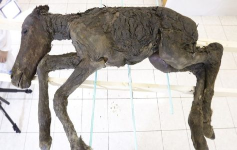 42,000 Year Old Foal Discovered in Siberia