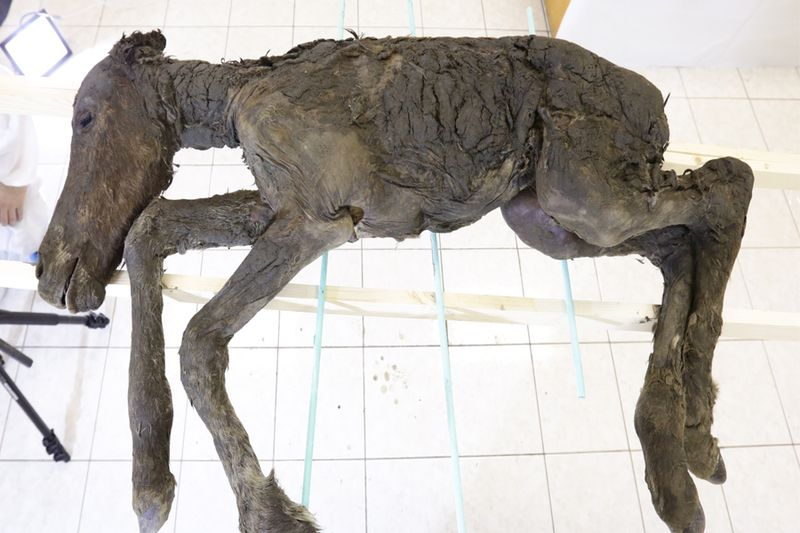 The+foal+discovered+by+Russian+scientists+in+Siberia.+
