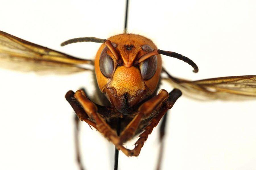 Murder Hornet nest spotted in America