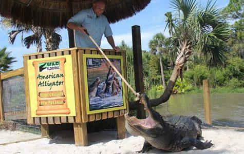 Employee feeds Alligator in Gator Park at Wild Florida.